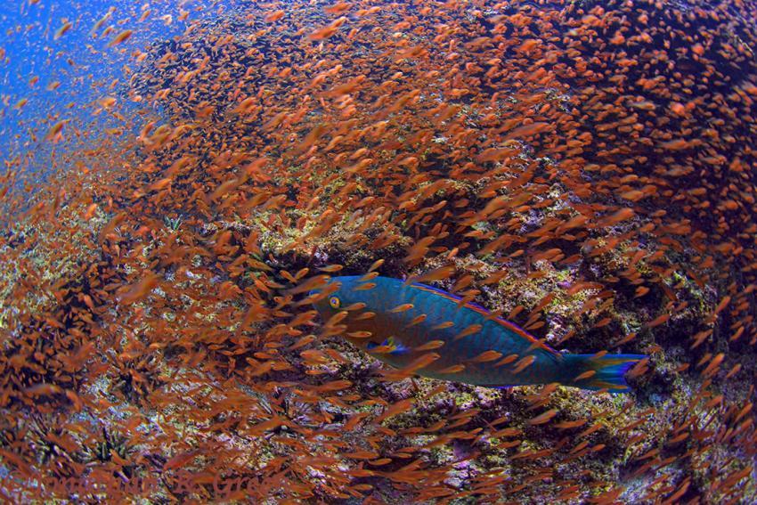 Bunter Papageienfisch umgeben von einer großen Schule kleiner Fische