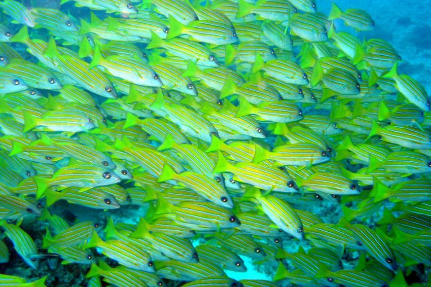 Makunudu, Makunudu,Malediven,Fischschwarm