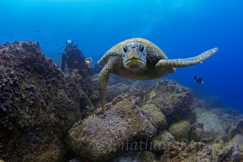 Grüne Meeresschildkröte mit Taucher im Hintergrund, Galapagos, Tauchen, Tauchsafari, Grüne Meeresschildkröte, Galapagos Shark Diving, Ecuador