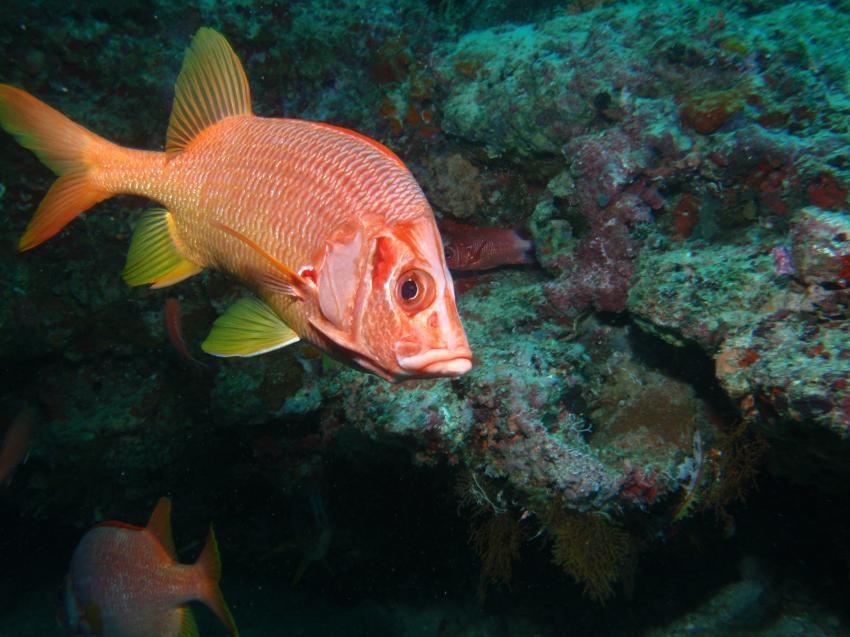 Helengeli, Helengeli,Malediven,Soldatenfisch