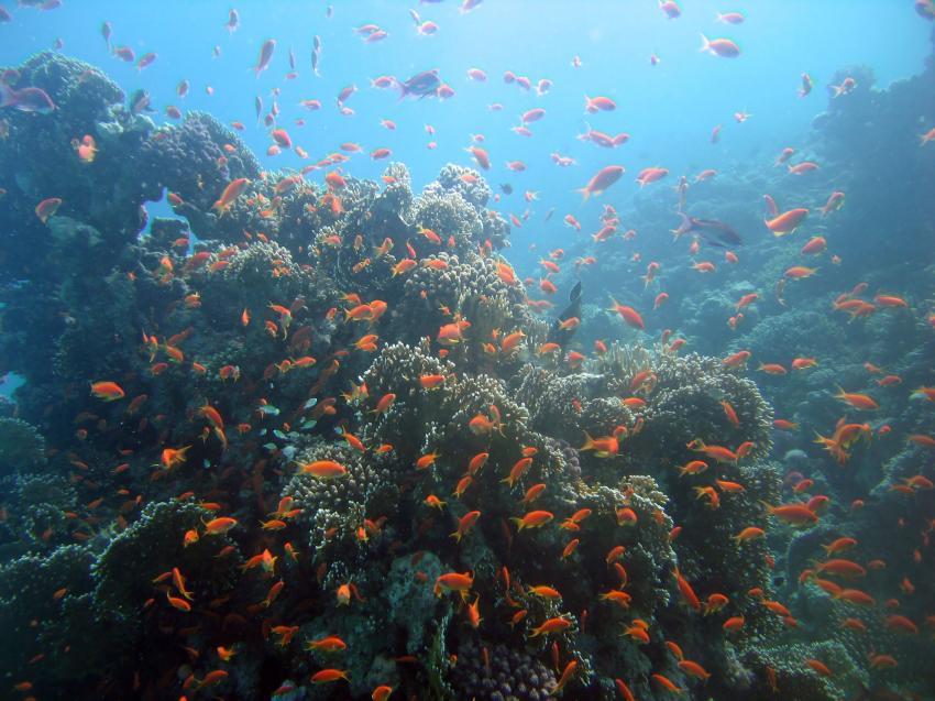 Siyul Island, Siyul Island,Ägypten,Riffbarsche,bunt,erg,Korallenblock
