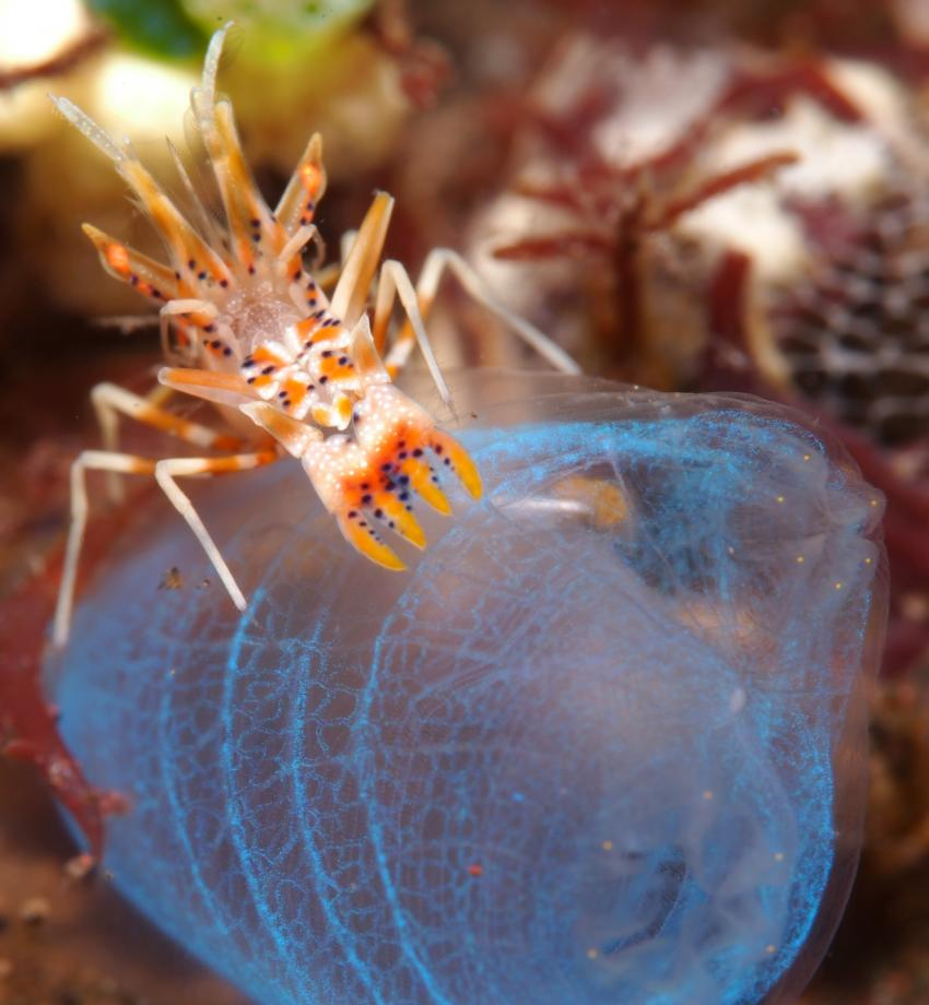 tiger shrimp, indonesia bali diving.DE, diving.DE Candidasa, Candi Beach, Indonesien, Bali