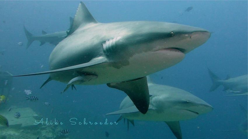 Bullen Haie im 'Shark Reef Marine Reserve'