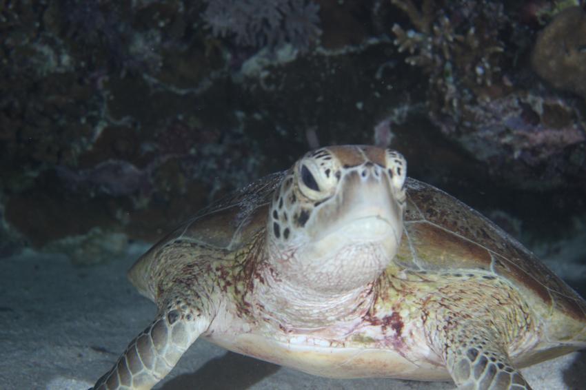 Schildkröte, Nunukan Island Resort, Extra Divers, Indonesien, Allgemein