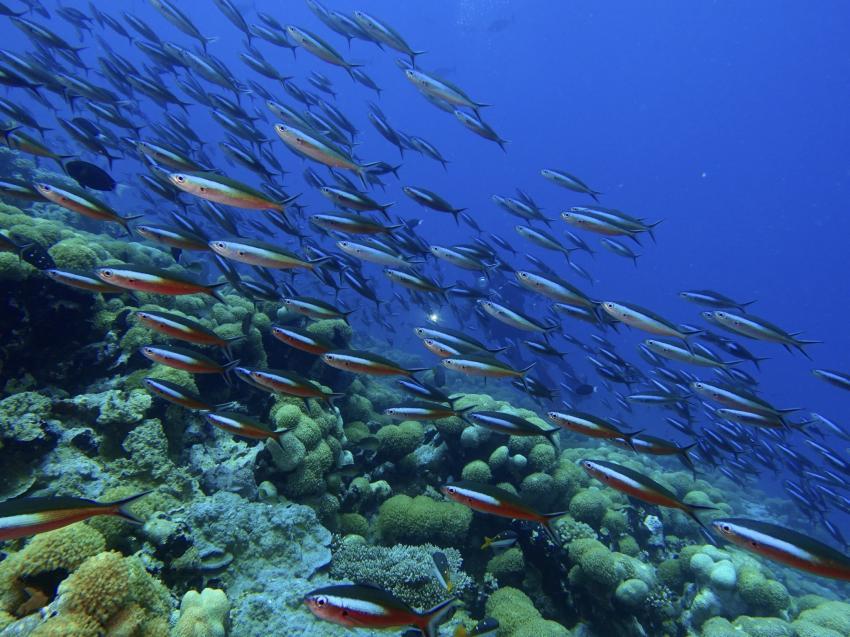 Fischschwarm, DivePoint Rannalhi, Malediven
