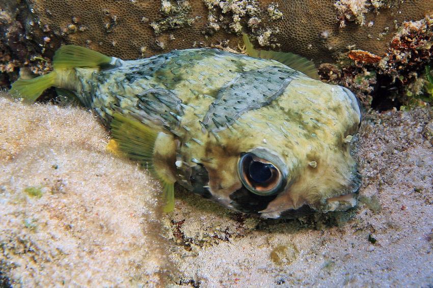 Hausriff Selayar Dive Resort, Selayar - Dive -Resort,Indonesien,Igelfisch,Diodontidae