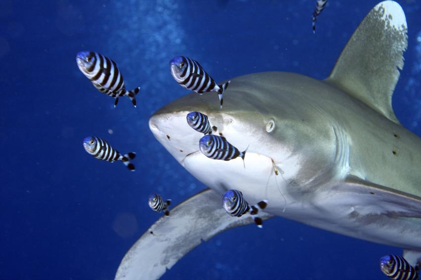Weißspitzenriffhai mit Begleitern