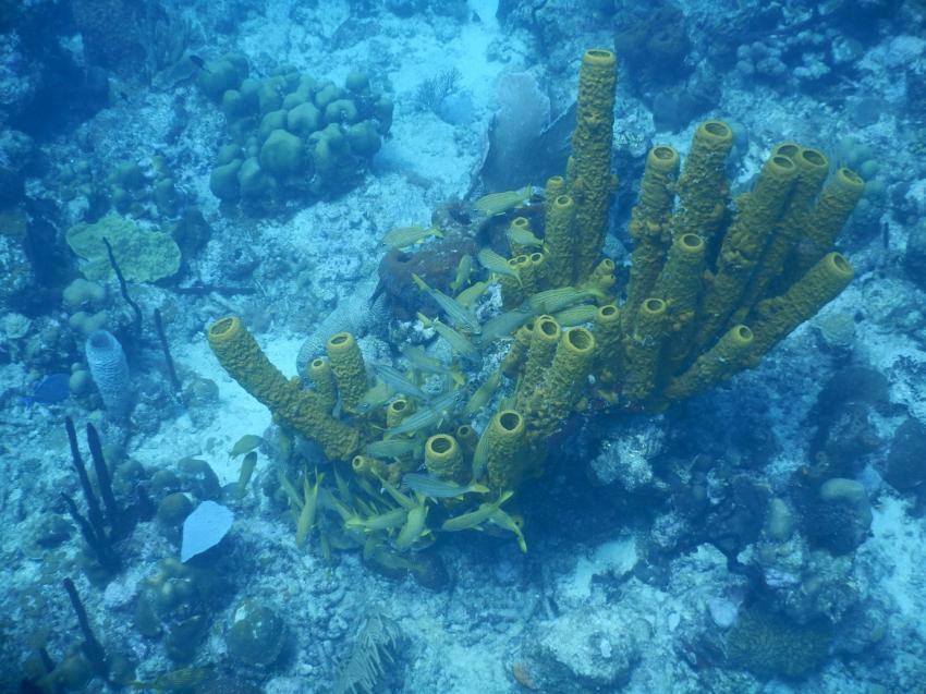 """Fischschwarm an einer Koralle im """"Aquarium"""" vor Catalina Island, Ultra Marine Divers, Punta Cana, Dominikanische Republik"""
