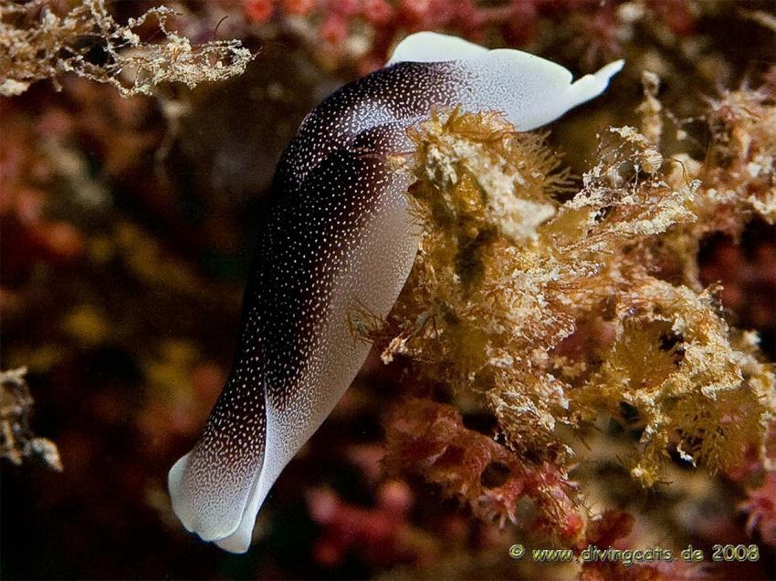 Sabang, Cocktail Divers