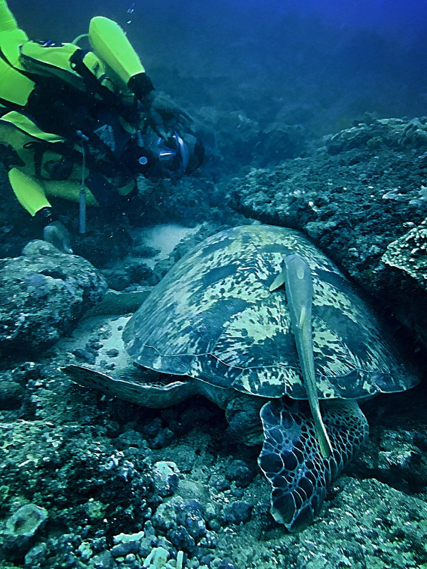 Turtle, Diving the Crab, Diani Beach, Kenia