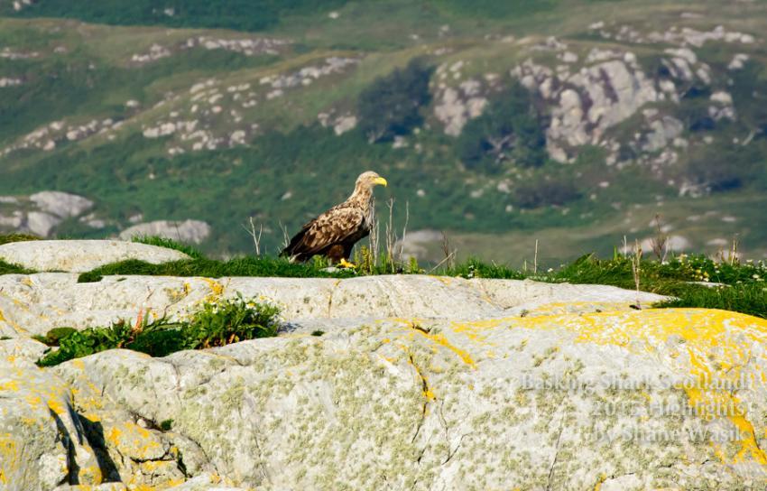 Weisskopfseeadler, Weisskopfseeadler, white tailed sea eagle, Mull, conservation, Basking Shark Scotland, Oban, Großbritannien, Schottland