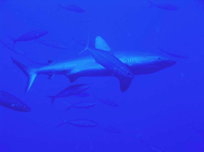 Blue Hole und New Drop Off, Blue Hole und New Drop Off,Palau,hai,makrelen,blau