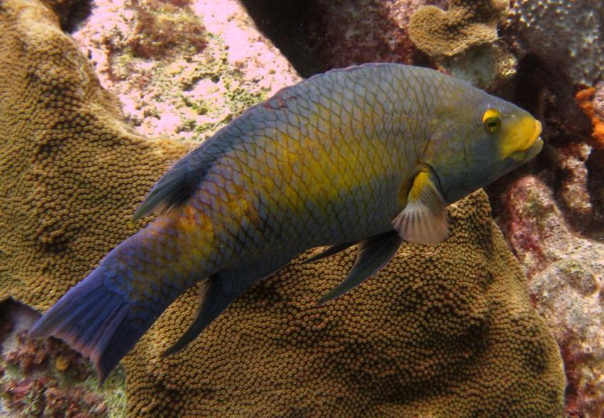 rund um West Punt, West Punt,Curaçao,Niederländische Antillen,Spanischer Schweinslippfisch