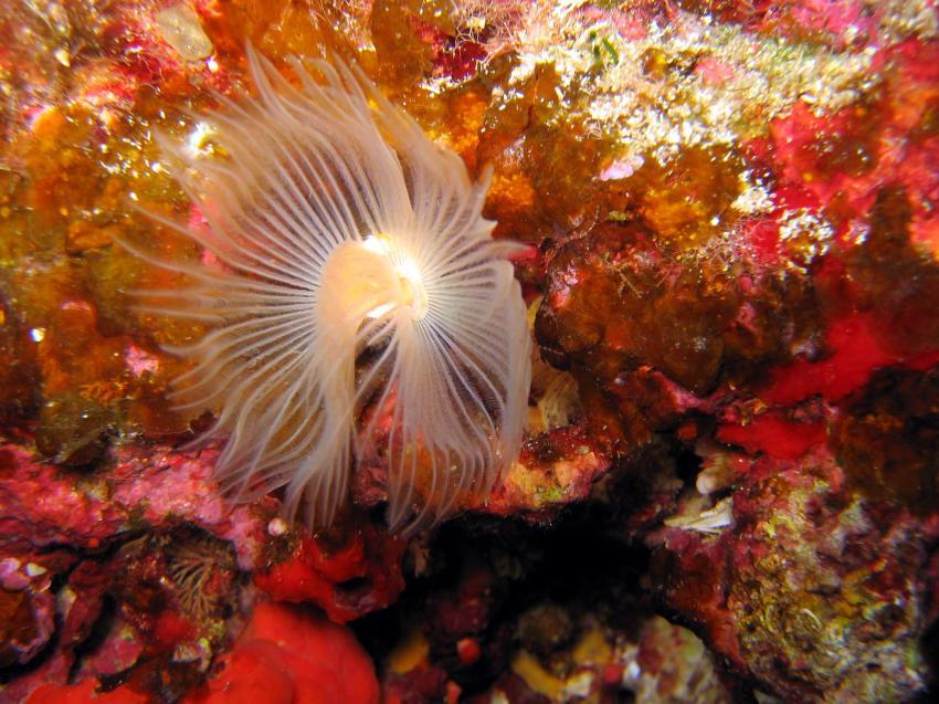 Menorca, Menorca,Spanien,Röhrenwurm,weiß
