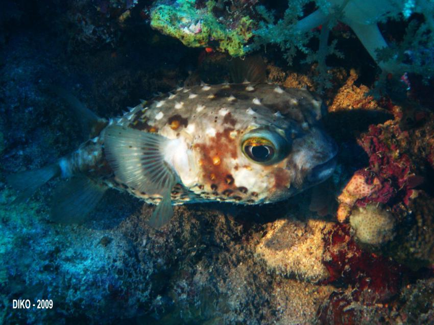 Brother Islands - no limit...., Big Brother Island,Ägypten,Igelfisch,Diodontidae