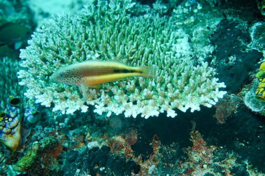 """Korallenwächter; mein """"Goldfisch"""", Sorido Bay Resort / Papua Diving / Raja Ampat, Indonesien, Allgemein"""