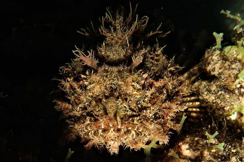 Baby Skorpionfisch (ca. 10cm Laenge)