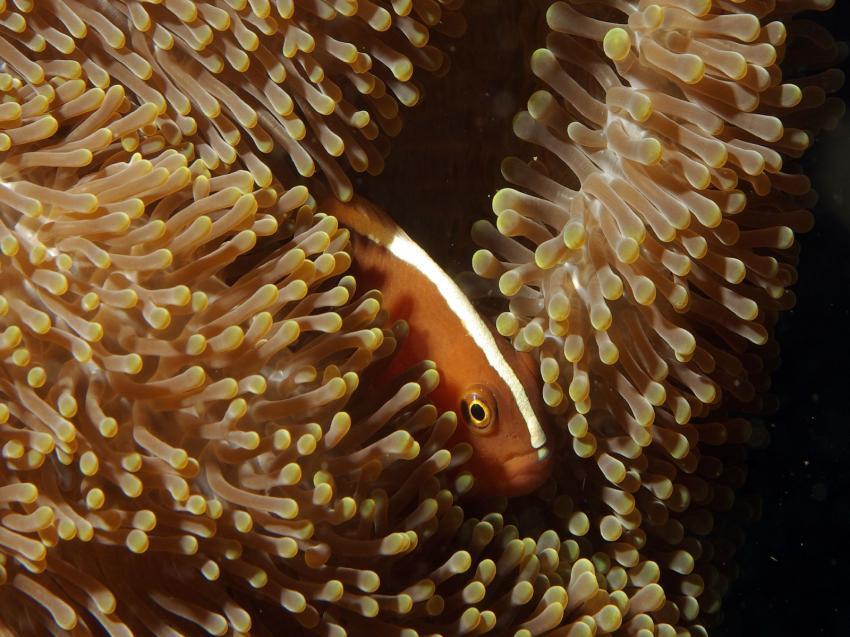 Pemuteran und Insel Menjangan, Menjangan,Indonesien,Anemonenfisch