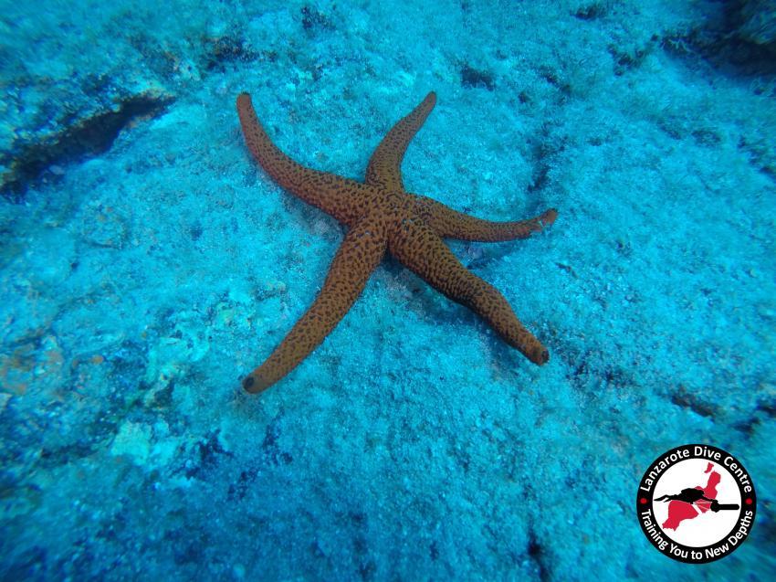Sternfisch, Sternfisch, Lanzarote Dive Centre, Lanzarote Dive Centre, Puerto del Carmen, Spanien, Kanaren (Kanarische Inseln)