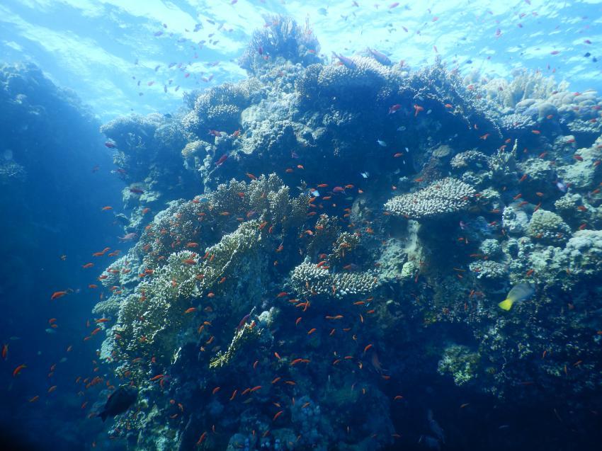 Marsa Alam Korallen, Coraya Divers, Coraya Beach, Marsa Alam, Ägypten, Marsa Alam und südlich
