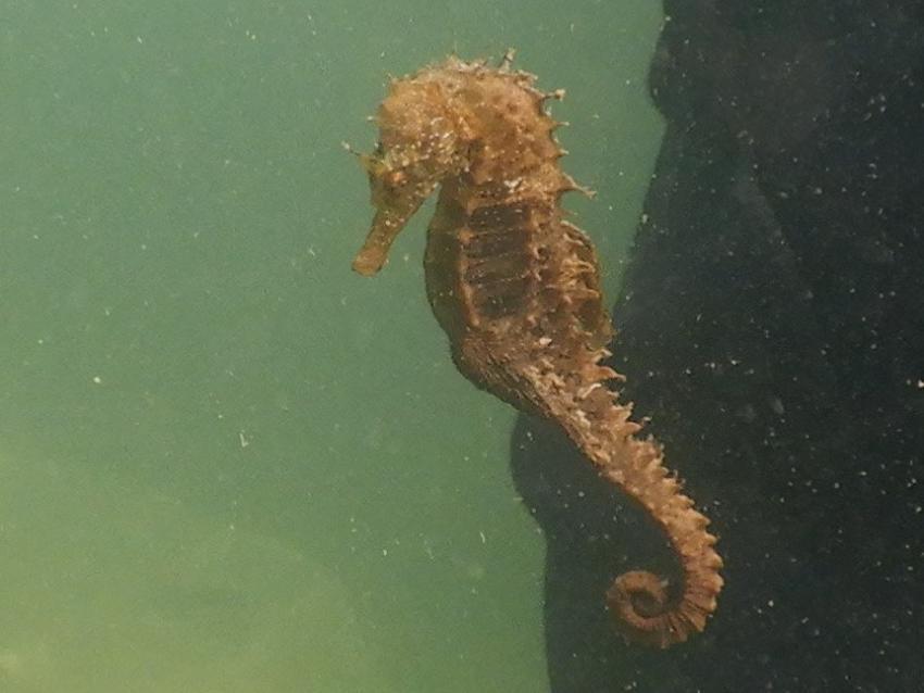 Seepferdchen, Seepferdchen, seahorse, hippocampus, Osez Plonger, Balaruc les Bains, Frankreich