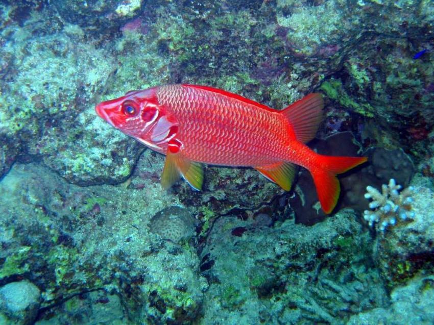 Shark Bay, Shark Bay - Sharm el Sheikh,Ägypten,Soldatenfisch,rot