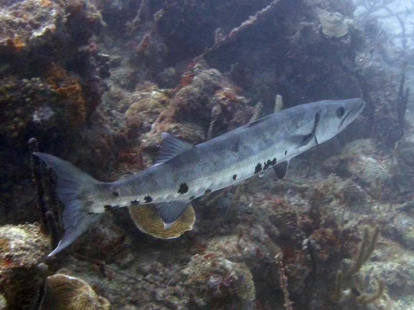 Barracuda, Lumbadive PADI 5 STAR RESORT, Tyrrel Bay, Carriacou - Grenada W.I., Grenada