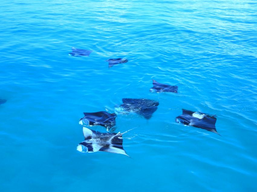 Donkalo Thila (Ari Atoll), Donkalo Thila,Ari Atoll,Malediven,Mantas,an der Wasseroberfläche