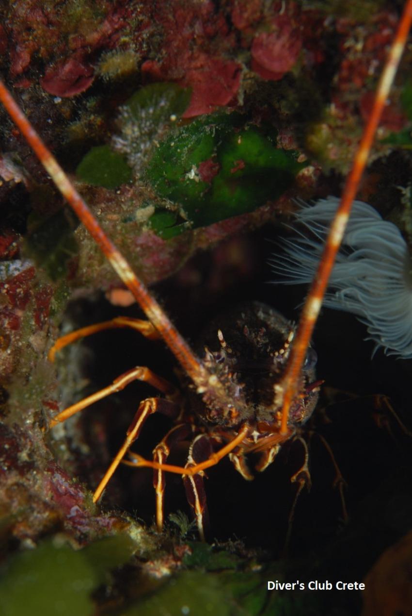 Lobster - Blue Cave, Cave Diving, Divers Club Crete, Agia Pelagia, Kreta, Griechenland