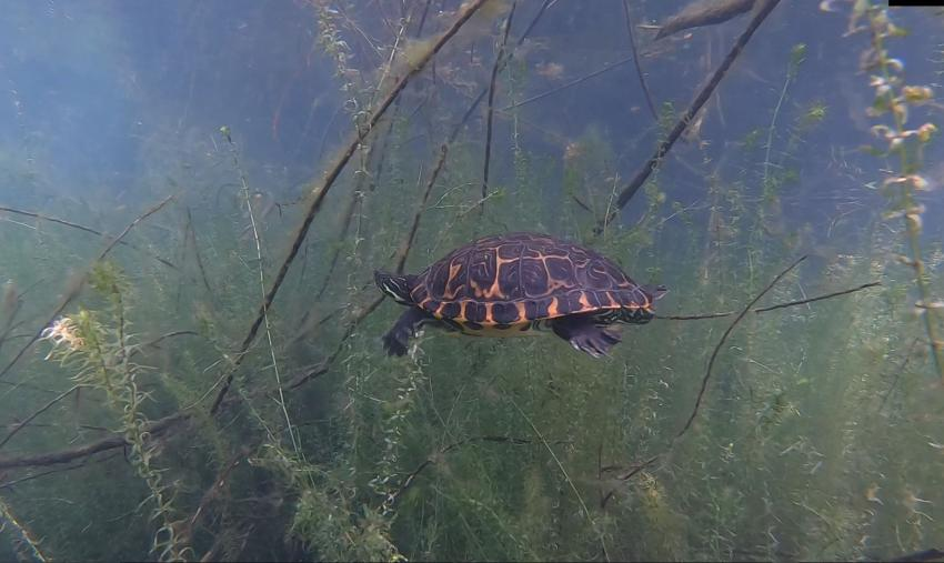 Schildkröte, Krämersee, Monheim, Deutschland, Nordrhein-Westfalen