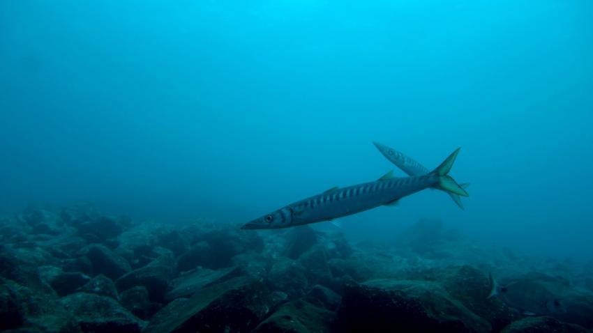 Welche Barrakudas?, Barrakuda, Daivoon Dive Center, Lanzarote, Costa Teguise, Spanien, Kanarische Inseln