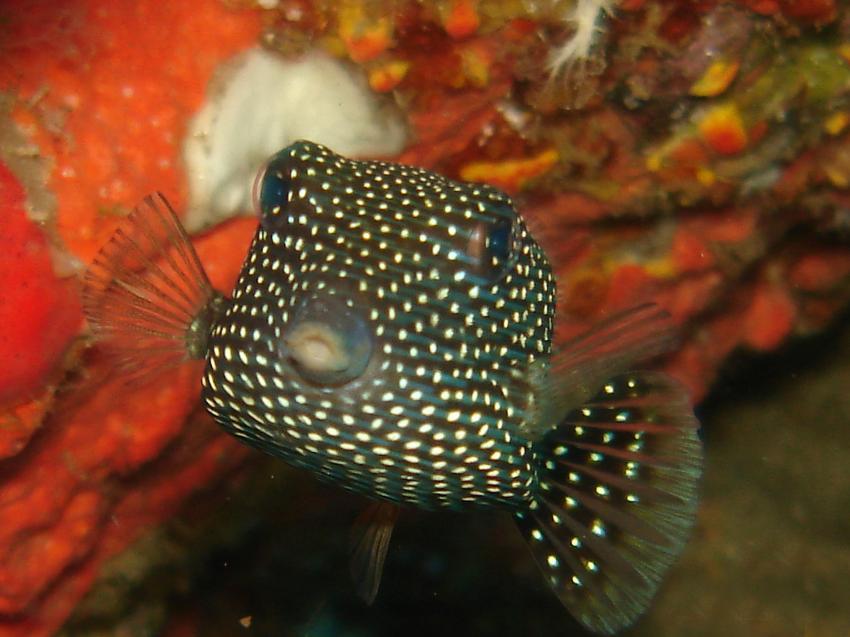 Boxfish  - Similan Islands, Boxfish  - Similan Islands, Sea Turtle Divers - Khao Lak, Thailand, Andamanensee