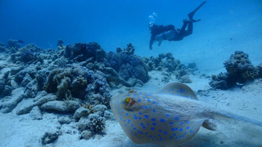 einer von vielen Blaupunktrochen, Ducks Superior Marsa Alam, Ägypten, Marsa Alam und südlich