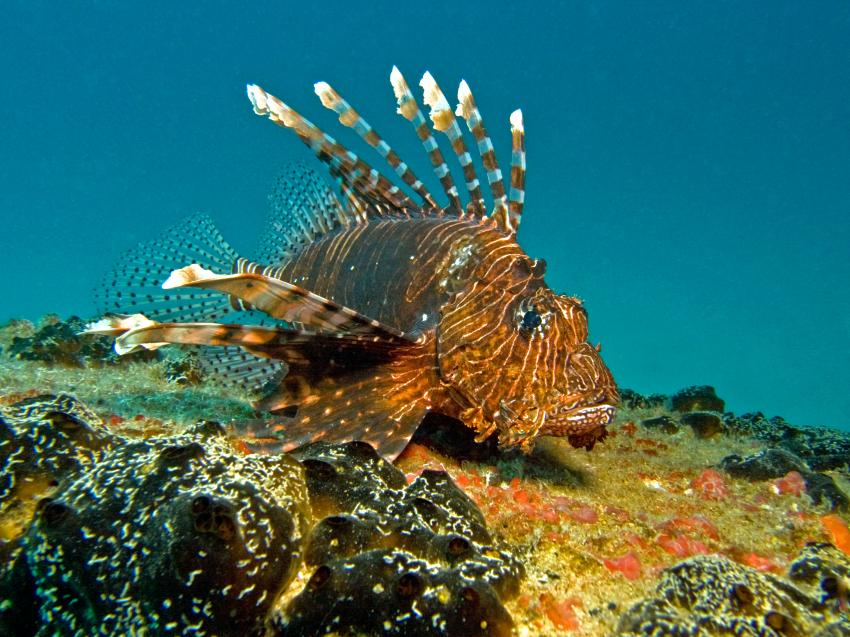 Kudimaa Wrack, Machchafushi,Ari Atoll,Malediven,Skorpionsfisch,Rotfeuerfisch