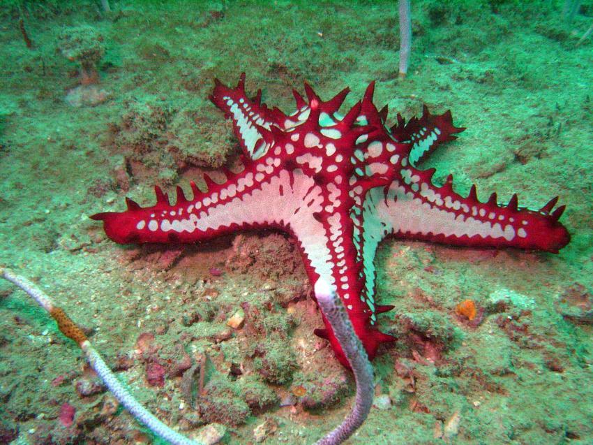 Phuket - Ao Sane, Phuket - Ao Sane,Thailand,Seestern,rot-weiß