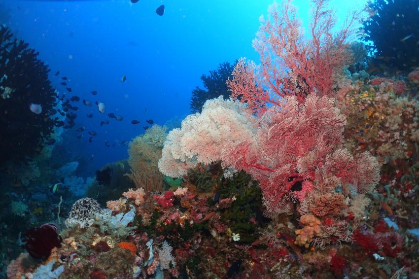 Korallenriff Tompotika, Korallenriff, Korallen, RIff, Tompotika, Tanduk, Tompotika Dive Lodge, Indonesien, Sulawesi
