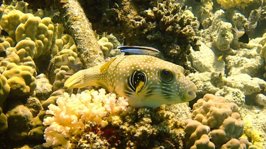 Kofferfisch, Rotes Meer, Jasmin Diving Sports Center, Grand Seas Resort Hostmark - Hurghada, Ägypten, Hurghada
