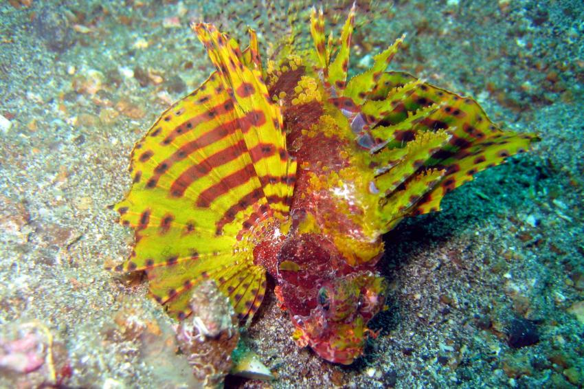 Lembeh, Lembeh,Indonesien,Skorpionsfische,Rotfeuerfisch,Feuerfisch,gelb-rot,bunt