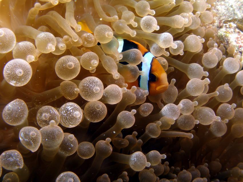 Clownfisch versteckt sich in schöner Anemone