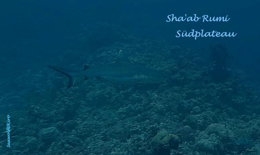 Sha'ab Rumi Südplateau, Sudan Rumi Südplateau Seawolf Diving Safari Tauchen Port Sudan Precontinent II Jack Cousteau, Sha'ab Rumi Südplateau, Sudan