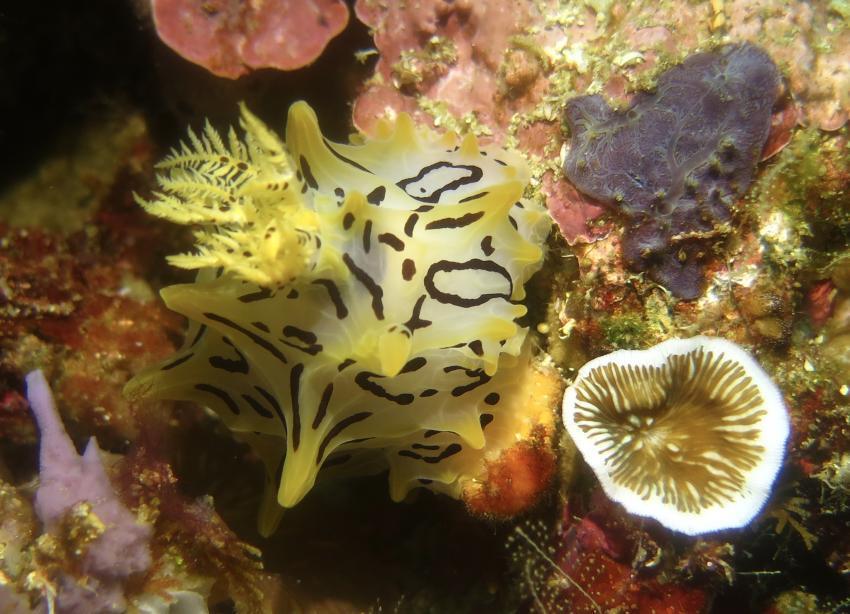 Nudi, Nudibranch, Nacktschnecke, Nacktkiemer, Tompotika Dive Lodge, Indonesien, Sulawesi