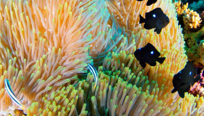 Anemone, Euro-Divers Amari Havodda, Malediven