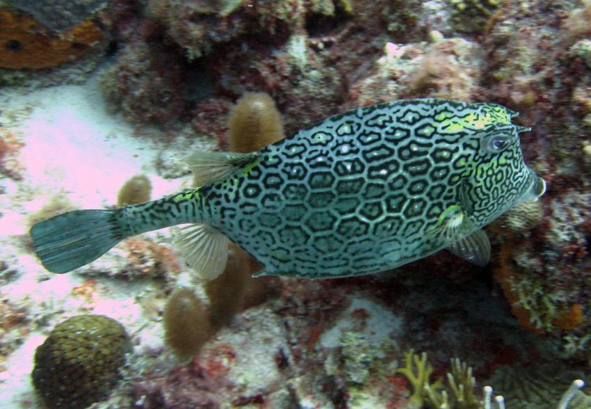 rund um West Punt, West Punt,Curaçao,Niederländische Antillen,Waben-Kofferfisch