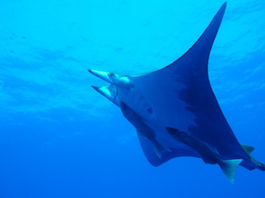 Mobula, Wahoo Diving, Santa Maria, Azoren, Portugal, Azoren