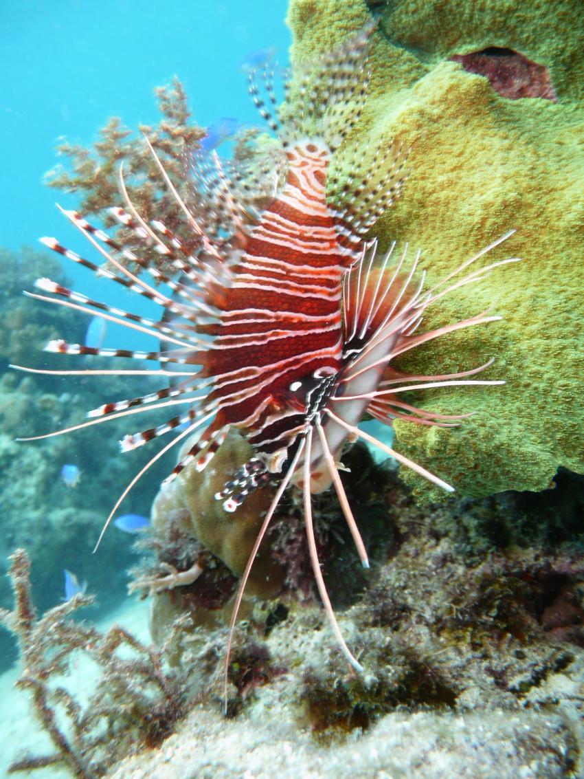 Coco White Beach, Coco White Beach,Philippinen,Rotfeuerfisch
