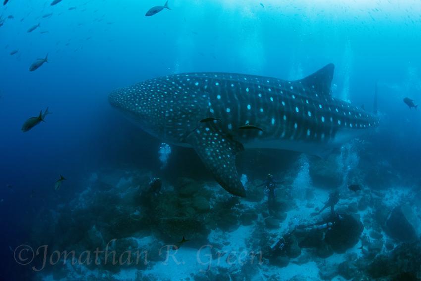 Walhai schwimmt über den Köpfen der Taucher hinweg