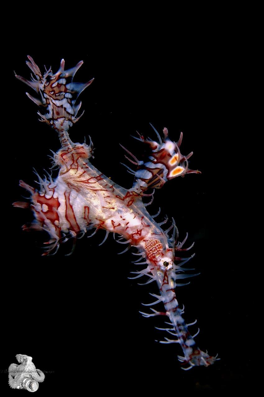 Harlekin-Geisterfetzenfisch