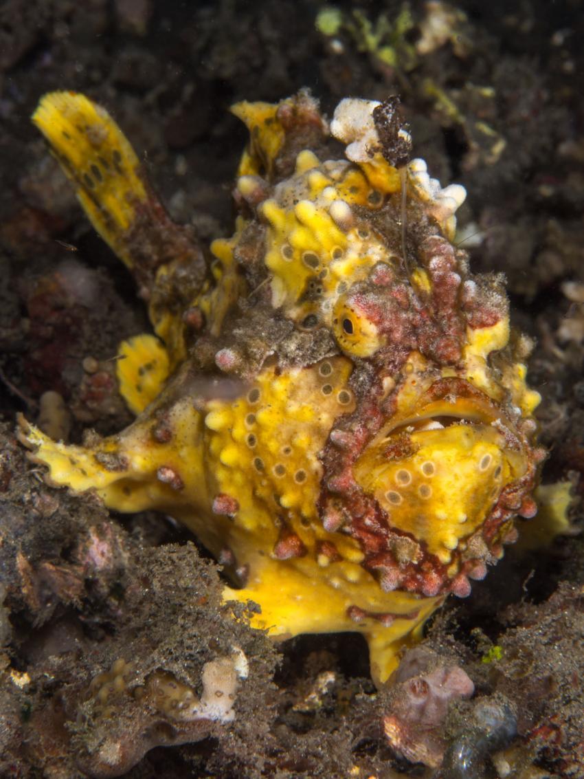 Warzen-Anglerfisch