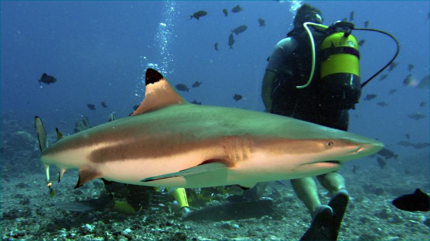 Moorea, Moorea und Fakarava,Französisch-Polynesien,Schwarzspitzenhai,Taucher
