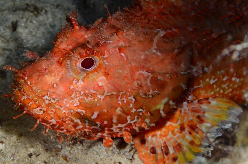Eindrücke Lampedusa, Lampedusa,Italien,Skorpionsfisch